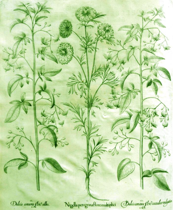 nigella-peregrina-flore-multiplici