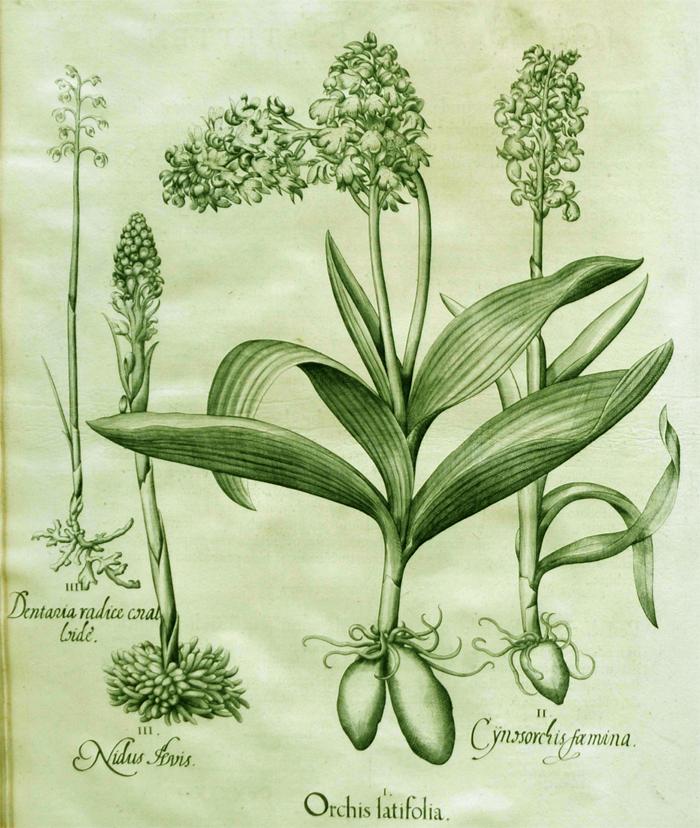 orchis-latifolia