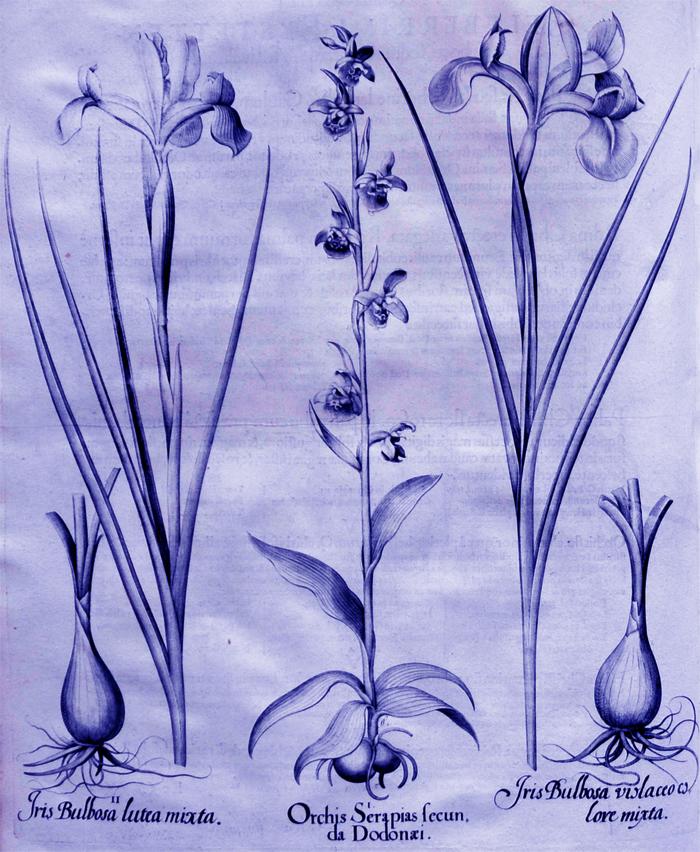orchis-serapias-secunda-dodonaei