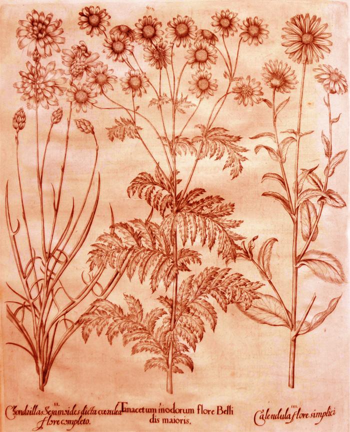 tanacetum-modorum-flore-belli-dis-maioris