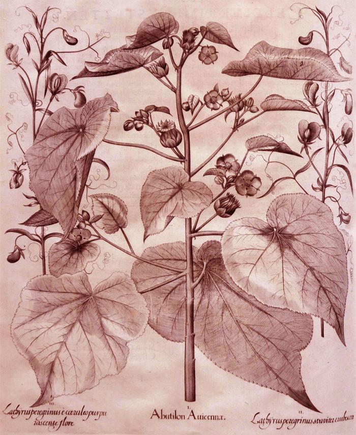 abutilon-auicennae