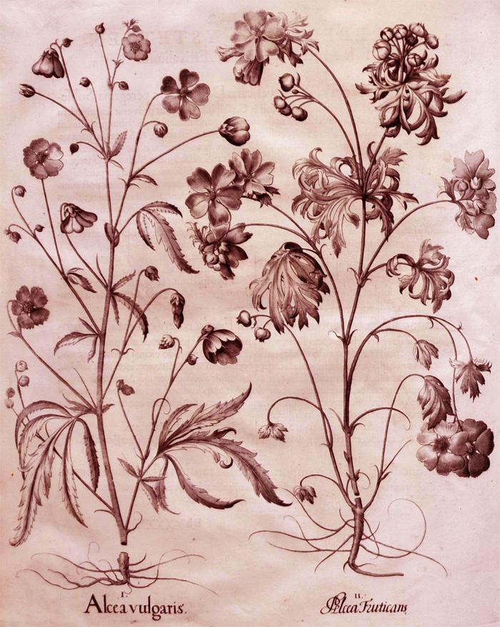 alcea-vulgaris