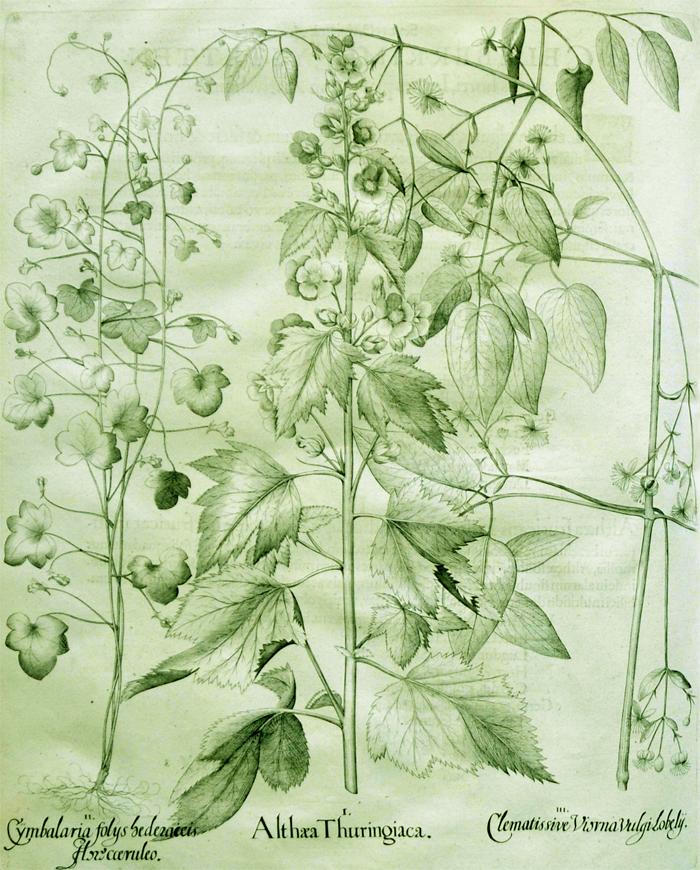 althaea-thuringiaca