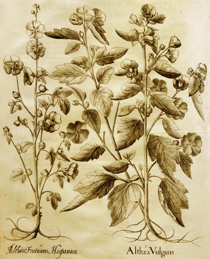 althaea-vulgaris