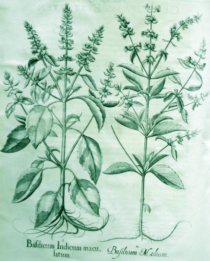 basilicum-indicum-maculatum