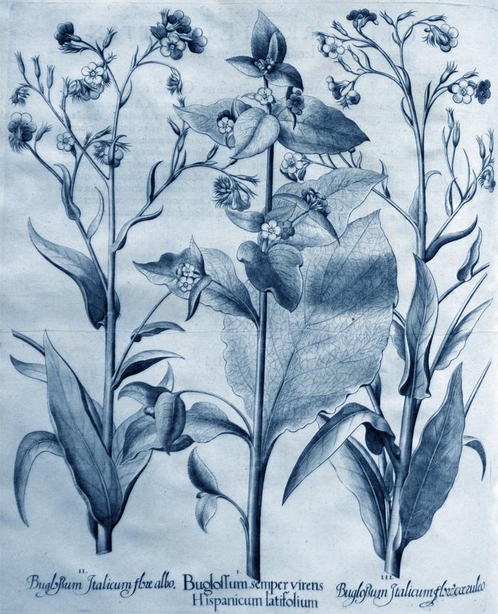 boglossum-semoer-virens-hispanicum-latifolium