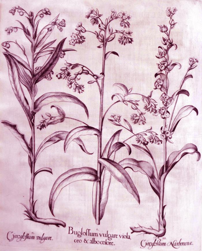 buglossum-vulgare-violaceo-albo-colore