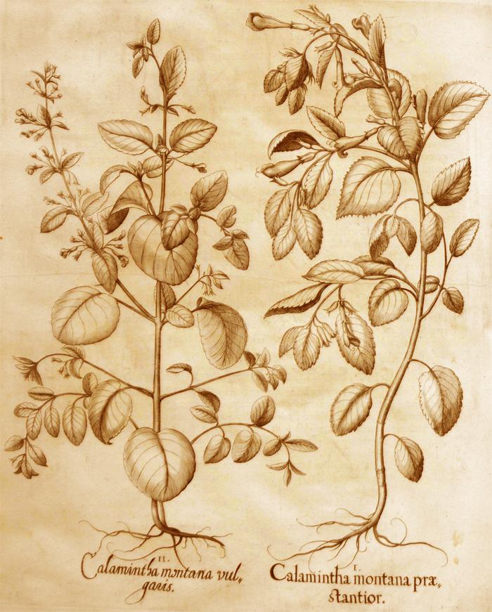 calamintha-montana-praestantior