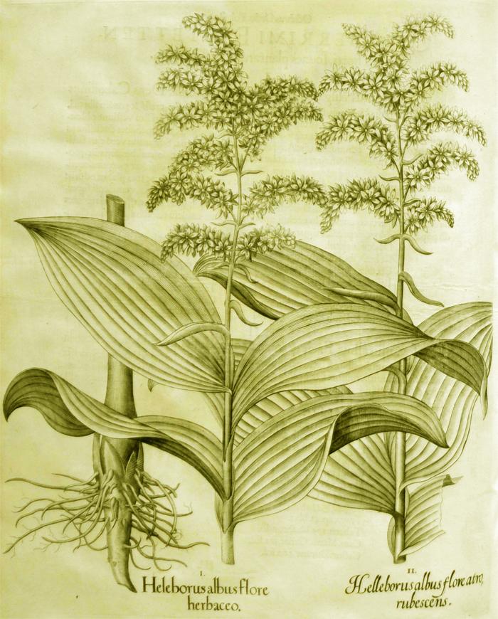 helleborus-albus-flore-herbaceo