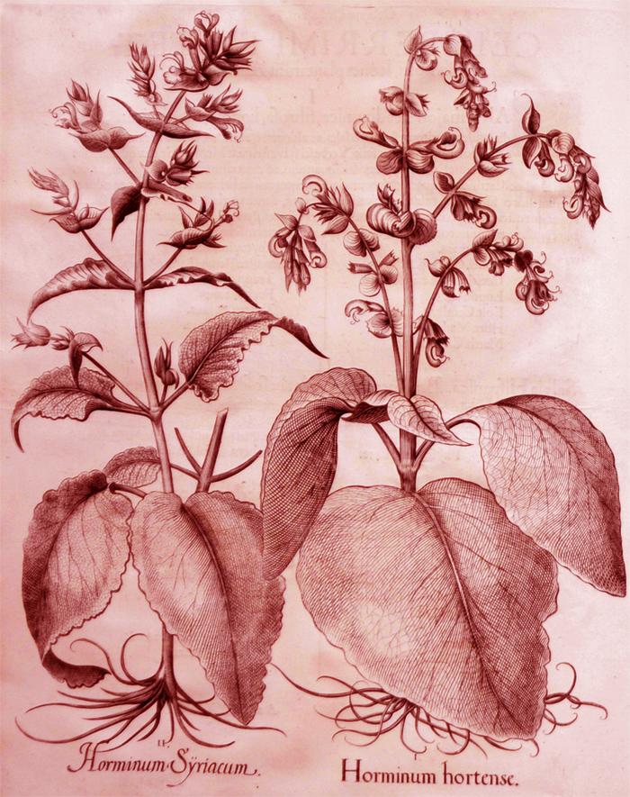 horminum-hortense