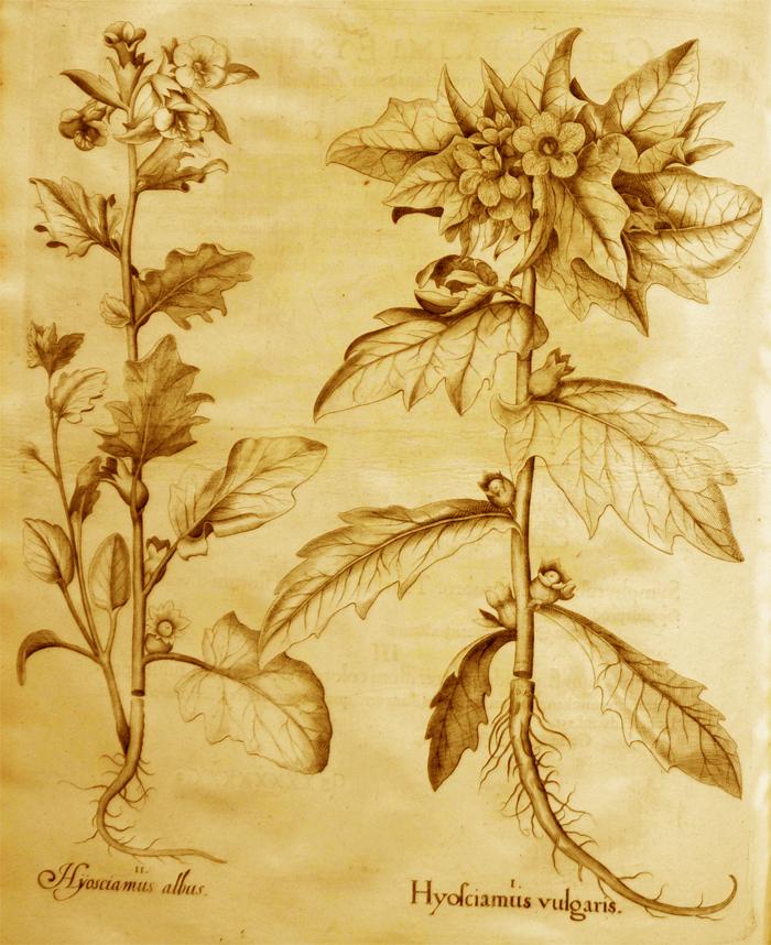 hyosciamus-vulgaris