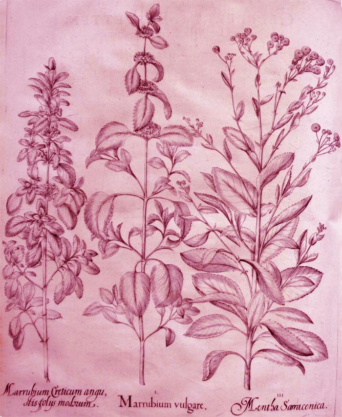 marrubium-vulgare