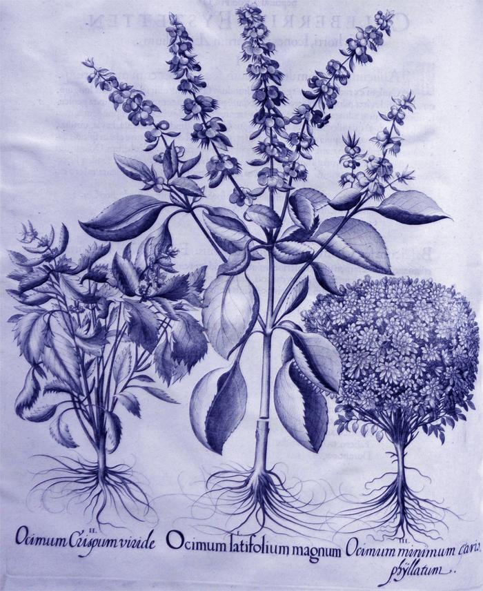 ocimum-latifolium-magnum