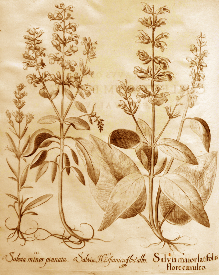 salvia-maior-latifoliis-flore-caeruleo