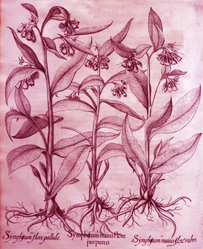symphistum-maius-flore-purpureo
