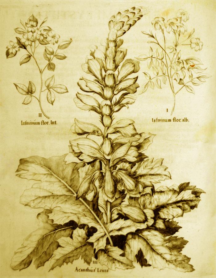 acanthus-leuis