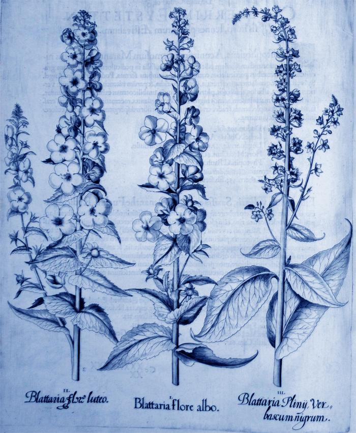 blattaria-flore-albo