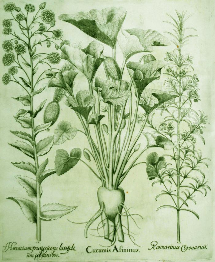 cucumis-asininus
