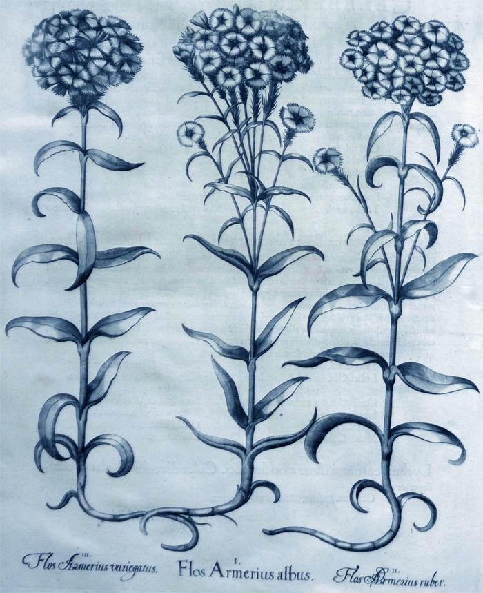 flos-armerius-albus