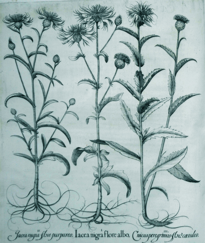 iacea-nigra-flore-albo
