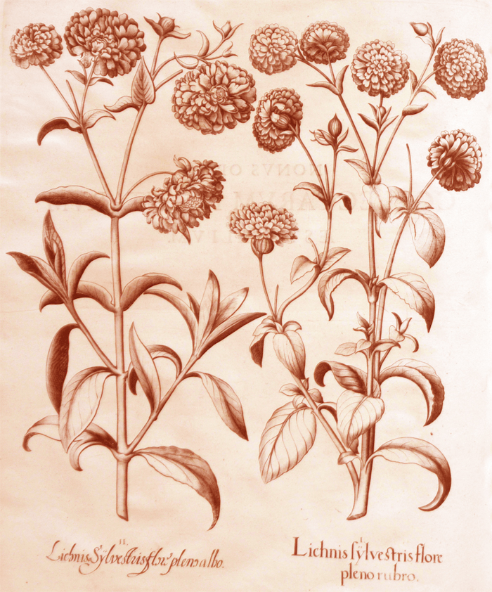 lichnis-sylvestries-flore-pleno-rubro