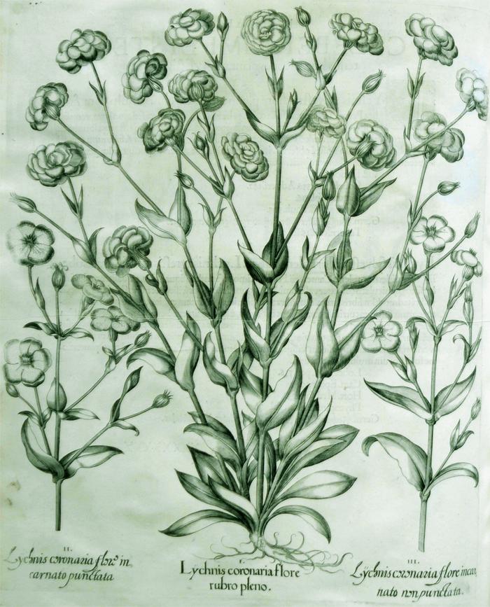lychnis-coronaria-flore-rubro-pleno