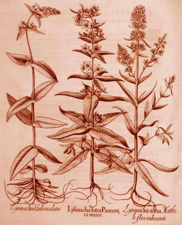 lysimachia-lutea-pannonica-maior