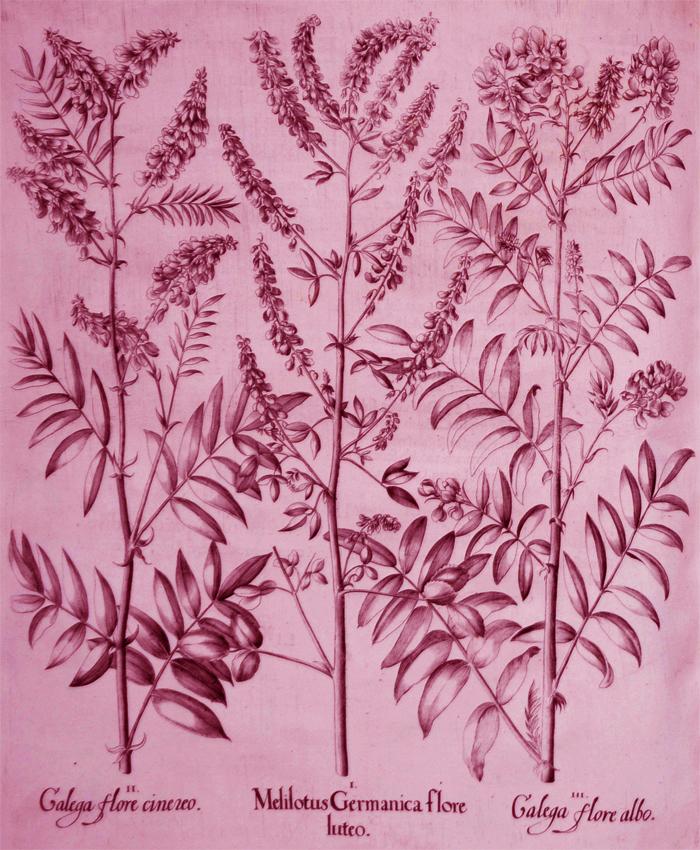 melilotus-germanica-flore-luteo
