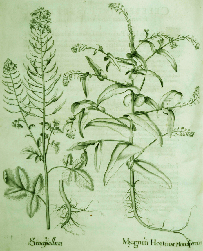 myagrum-hortense-monospermum
