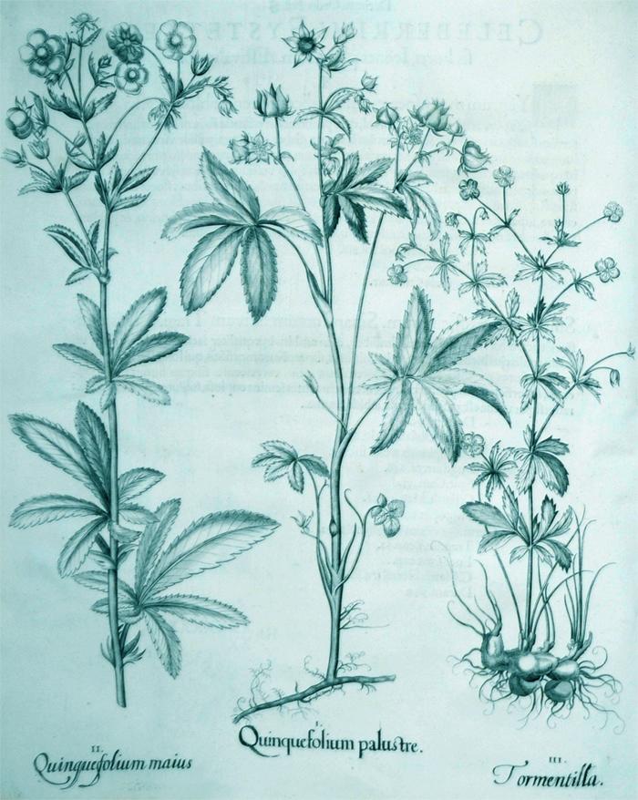 quinquefolium-palustre