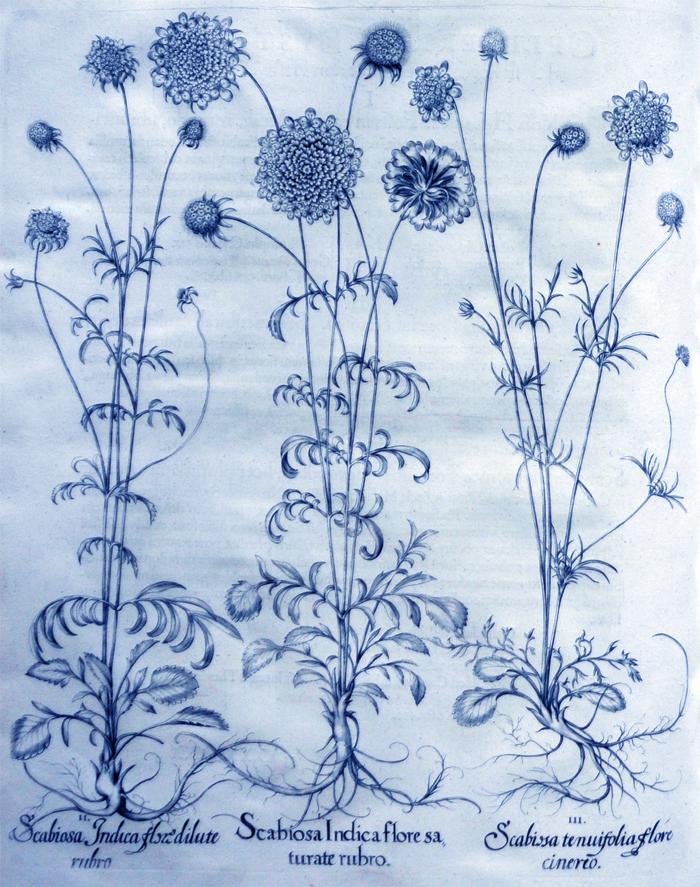 scabiosa-indica-flore-sarurate-rubro