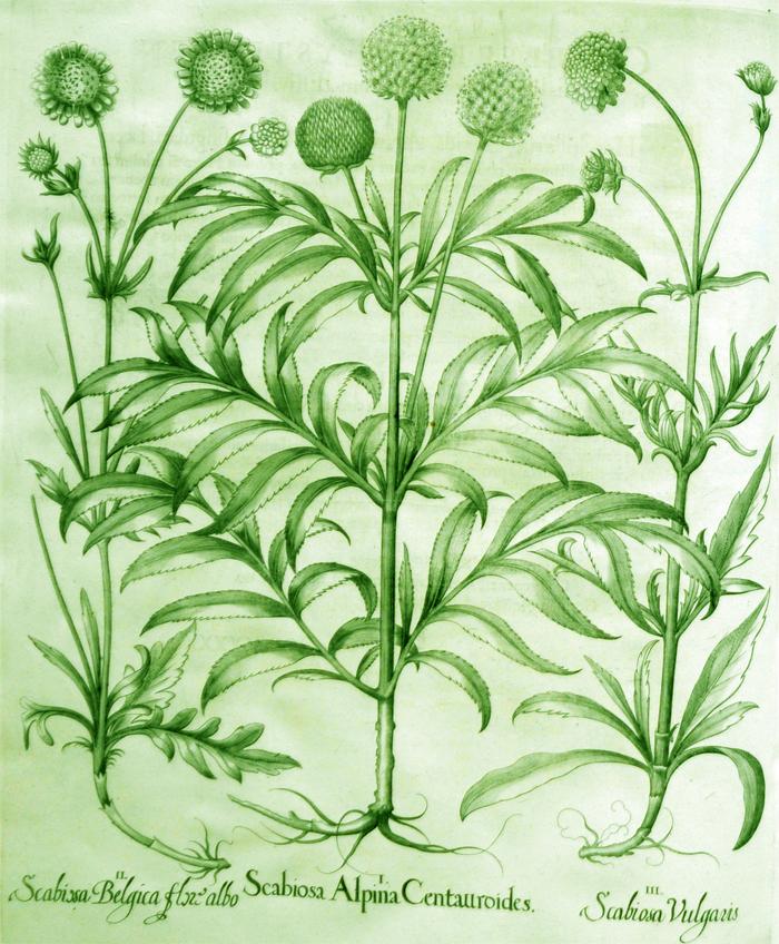 scarbiosa-alpina-centauroides