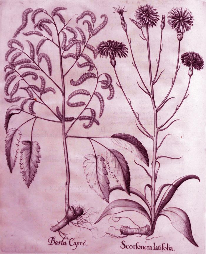scorfonera-litafoliajpg