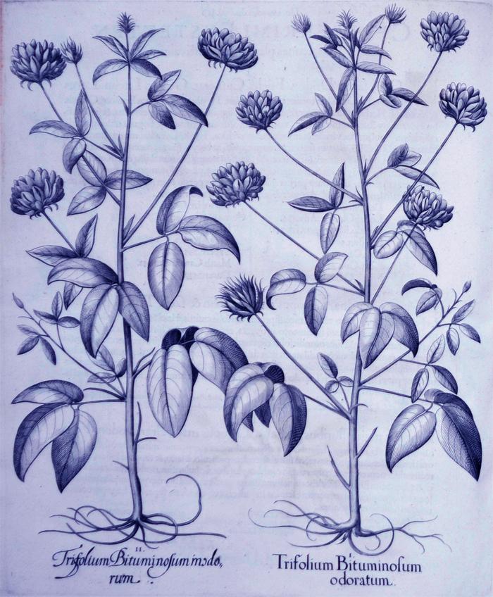 trifolium-bituminosum-odoratum
