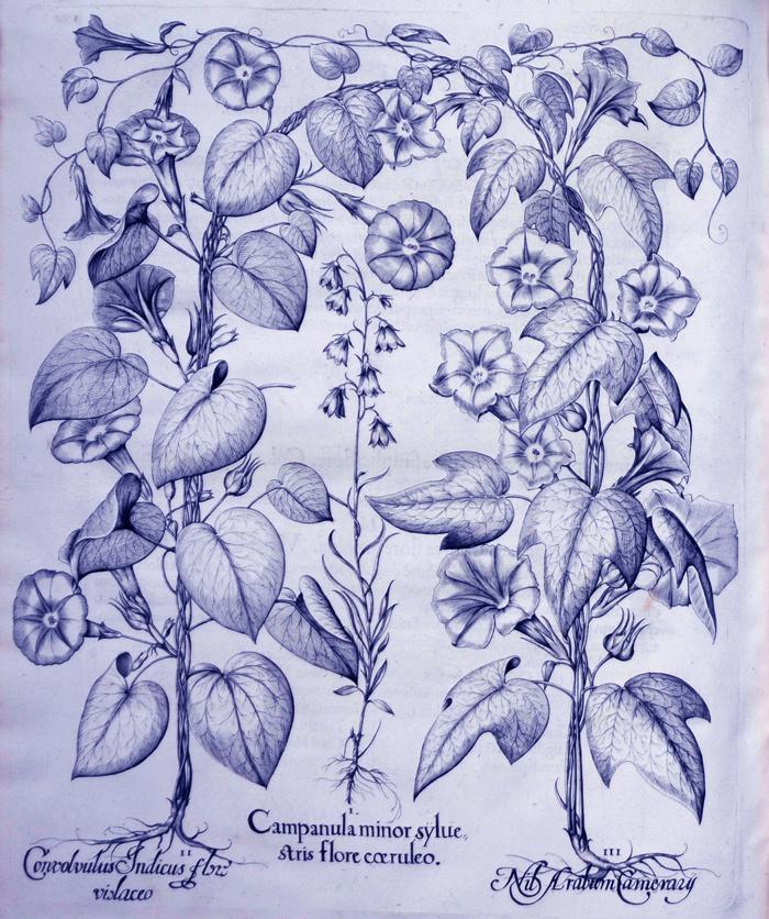 campanula-minor-syluestris-flore-coeruleo