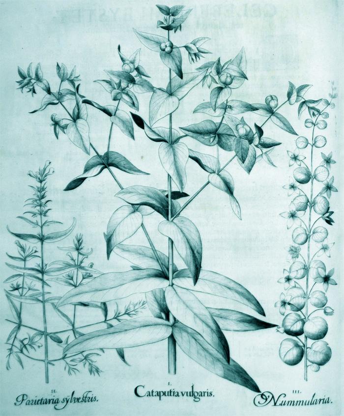 cataputia-vulgaris