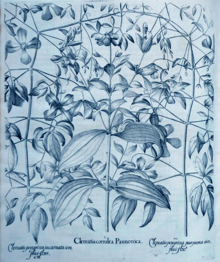 clematis-coerulea-pannonica