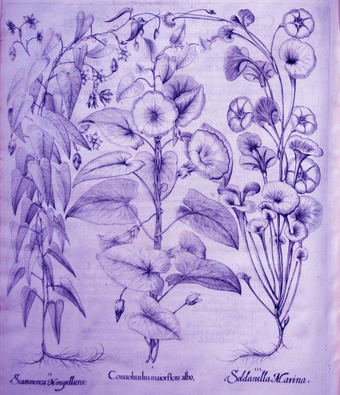 conuoluulus-maior-flore-albo