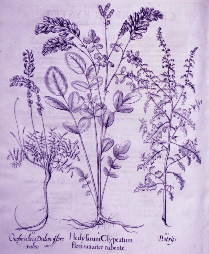 hedyfarum-clypeatum-flore-suauiter-rubente