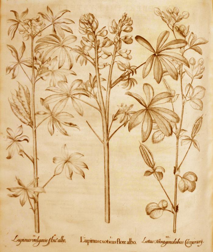 lupinus-exoticus-flore-albo