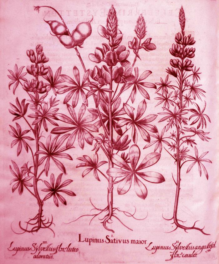 lupinus-sativus-maior