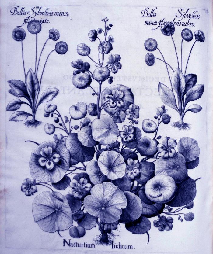 nasturtium-indicum1