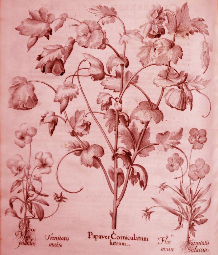 papaver-corniculatum-luteum