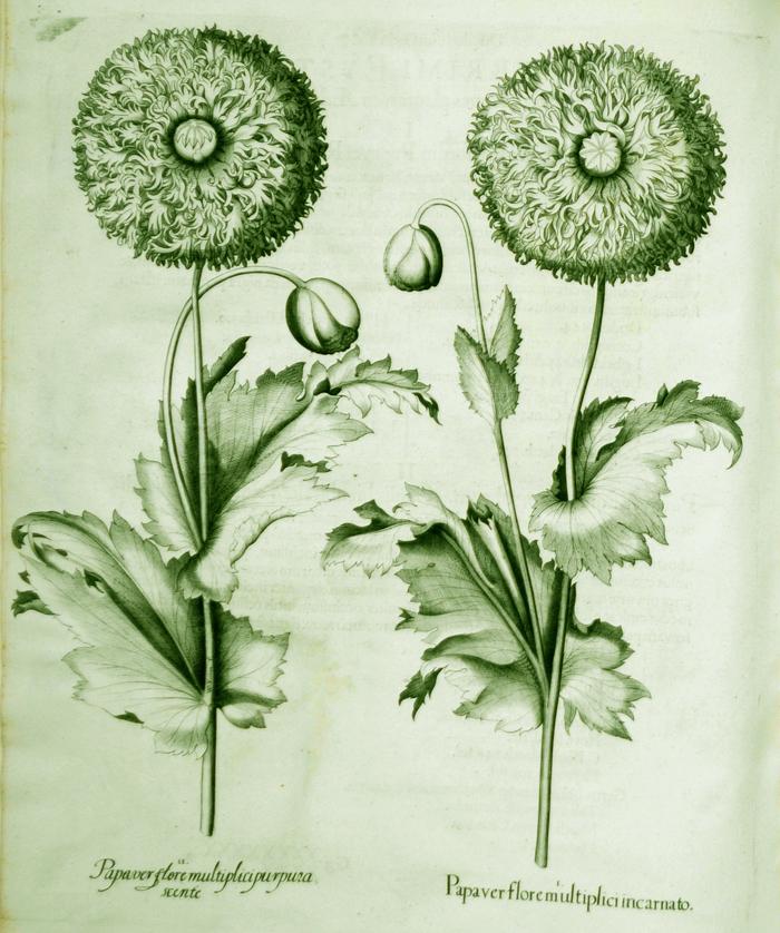 papaver-flore-multiplici-incarnato