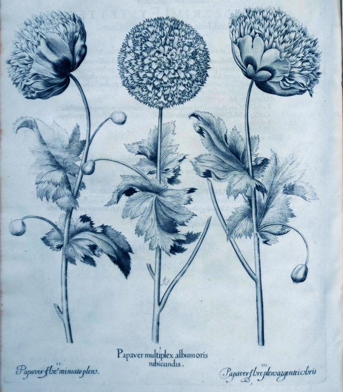papaver-multiplex-albumoris-rubicundis