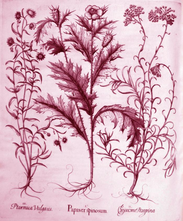 papaver-spinosum